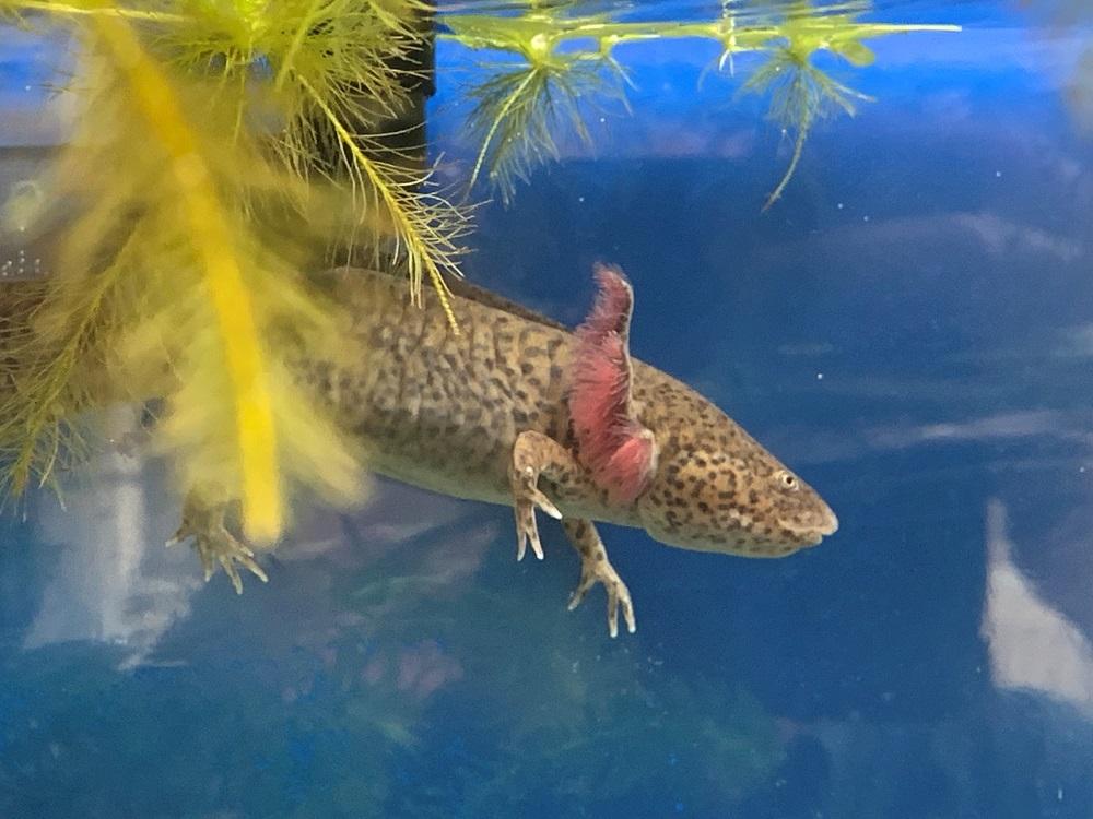 Axolotls - Chester store - Maidenhead Aquatics