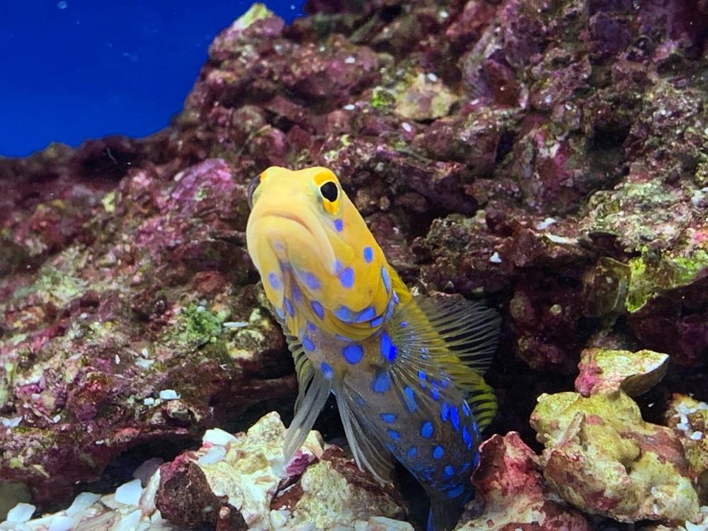 Blue spot Jawfish - Reefkeeper Rugby - Maidenhead Aquatics