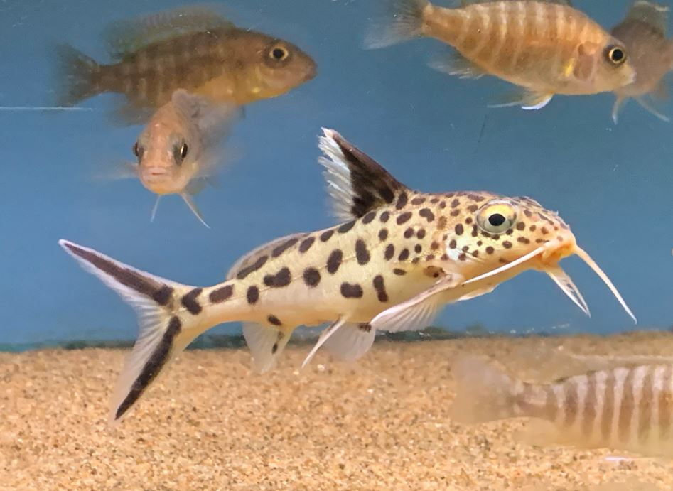 Cuckoo Catfish