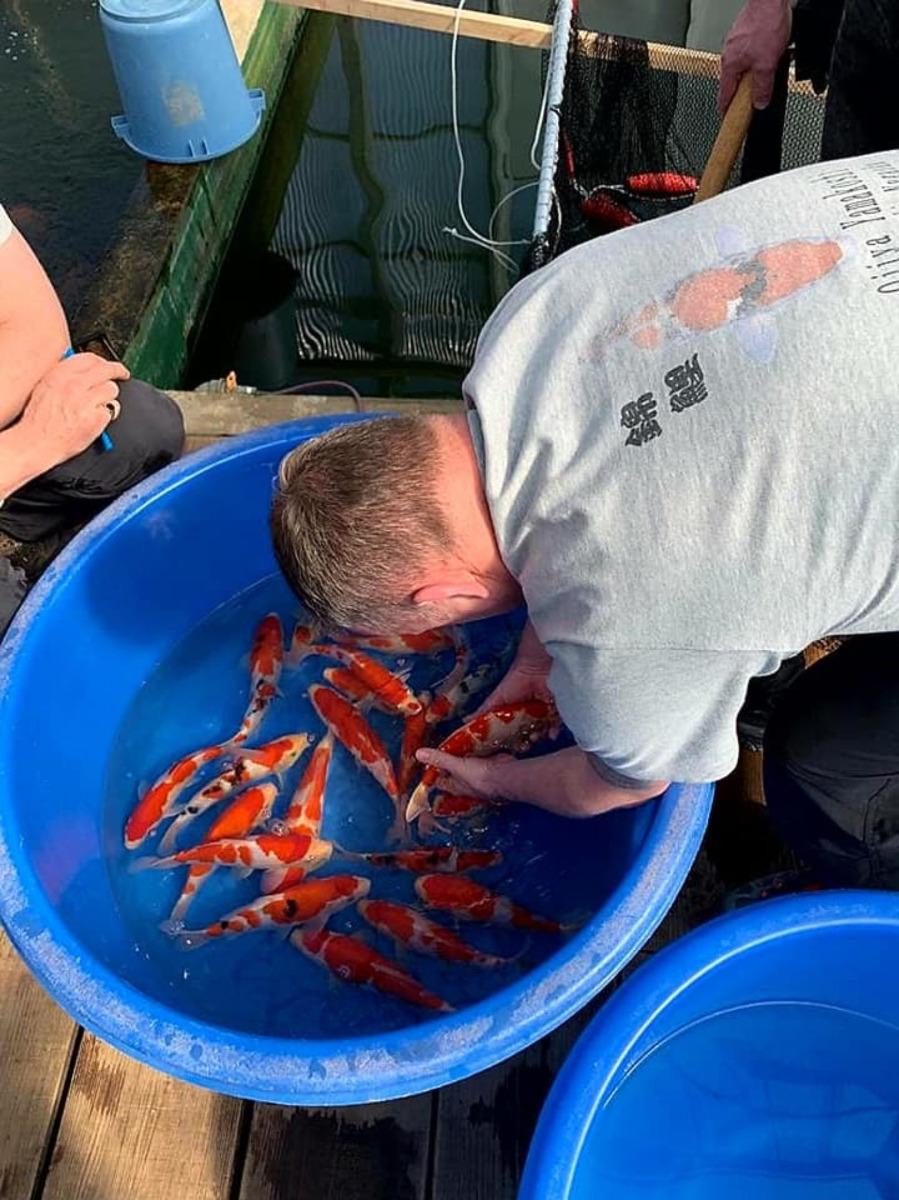 man bending over bucket of koi fish japan farm