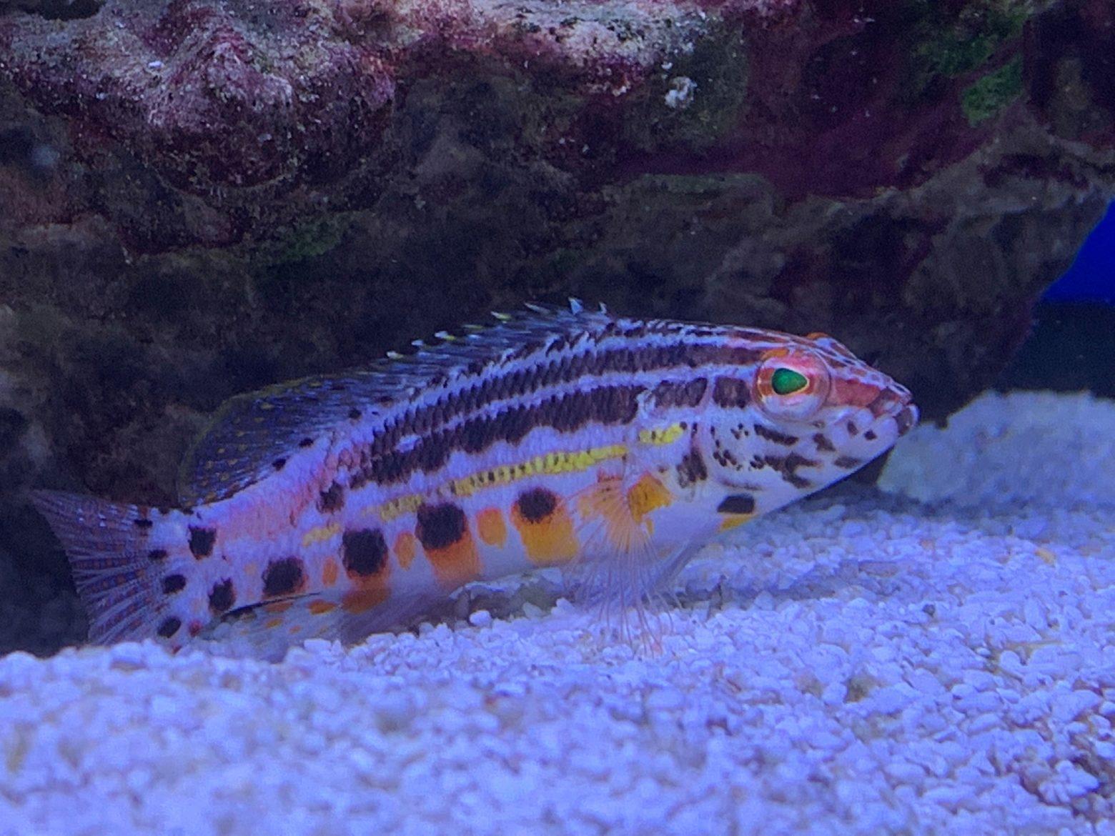 Lantern bass (Serranus baldwini) Ashtead store