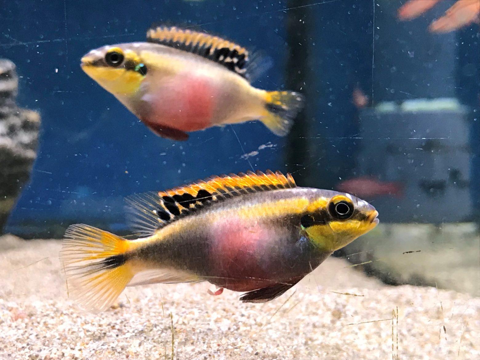 Kribs (Pelvicachromis pulcher) at Lisburn
