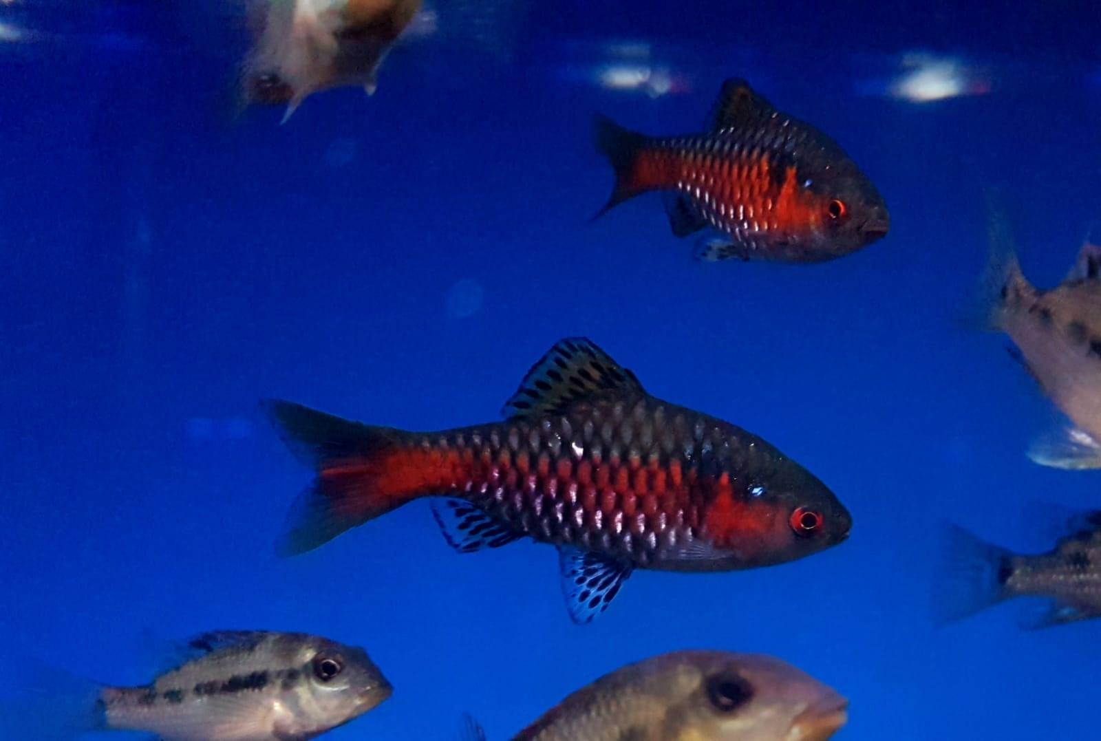 odessa barbs fish