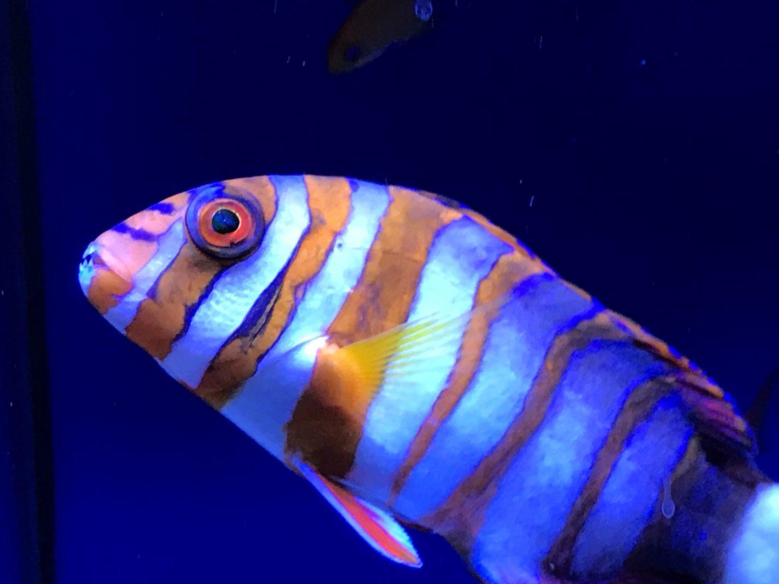 Harlequin Tuskfish (Choerodon fasciatus) - Weybridge store