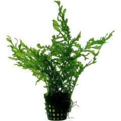 Tropical Aquarium Plant- Bolbitis Heudelotii (Pack of 3)