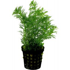Tropical Aquarium Plant- Limnophila Heterophylla (Pack of 3)