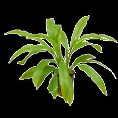 Tropical Aquarium Plant- Echinodorus Amazonicus (Pack of 3)