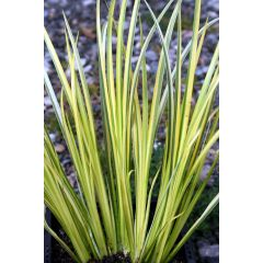 Pond Plant - Acorus gramineus 'Golden Delight' (Golden Striped Rush) - Pack of 3 Plug Plants