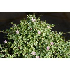 Pond Plant - Anagalis tenella  (Pink Pimpernel) - Pack of 3 Plug Plants