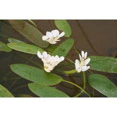 Pond Plant - Aponogeton distacyum (Water Hawthorn) 1L