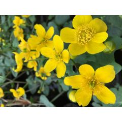 Pond Plant - Caltha palustris (Marsh Marigold) - Pack of 3 Plug Plants