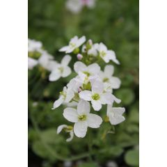 Pond Plant - Cardamine pratensis (Lady's Smock) - Pack of 3 Plug Plants