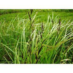 Pond Plant - Carex acutiformis (Lesser Pond Sedge) - Pack of 3 Plug Plants