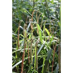 Pond Plant - Carex pendula (Pendulous Sedge) - Pack of 3 Plug Plants