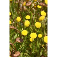 Pond Plant - Cotula coronopifolia (Golden Buttons) - Pack of 3 Plug Plants