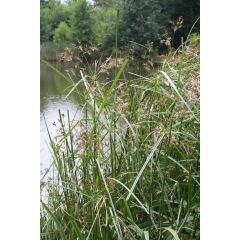 Pond Plant - Cyperus glaber (Flat Sedge) - Pack of 3 Plug Plants