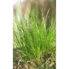 Pond Plant - Eleocharis acicularis (Hair Grass) - Pack of 3 Plug Plants