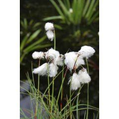 Pond Plant - Eriophorum angustifolium (Cotton Grass) - Pack of 3 Plug Plants