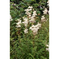 Pond Plant - Filipendula ulmaria (Meadow Sweet) - Pack of 3 Plug Plants