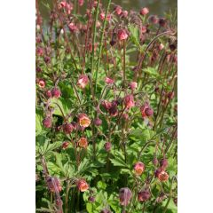 Pond Plant - Geum rivale (Water Avens) - Pack of 3 Plug Plants