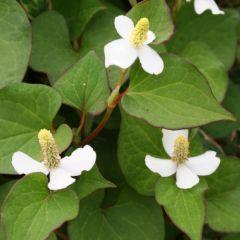 Pond Plant - Houttuynia cordata (Orange Peel Plant) - Pack of 3 Plug Plants