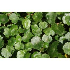 Pond Plant - Hydrocotyle vulgaris (Marsh Pennywort) - Pack of 3 Plug Plants