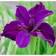 Pond Plant - Iris louisiana (American Water Iris) - Pack of 3 Plug Plants