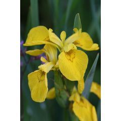 Pond Plant - Iris pseudacorus (Yellow Water Iris) - Pack of 3 Plug Plants