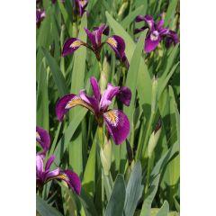 Pond Plant - Iris versicolor (American Water Iris) - Pack of 3 Plug Plants