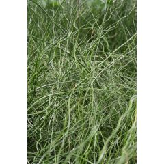 Pond Plant - Juncus effusus spiralis (Corkscrew Rush) - Pack of 3 Plug Plants