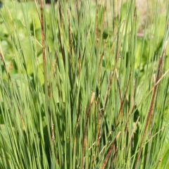 Pond Plant - Juncus inflexus (Hard Rush) - Pack of 3 Plug Plants