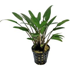 Tropical Aquarium Plant- Cryptocoryne Nevelli (Pack of 3)