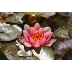 Pond Plant - Variable Waterlily (1L)