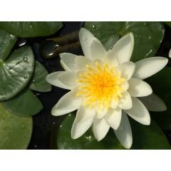 Pond Plant - White Waterlily (1L)