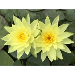 Pond Plant - Yellow Waterlily (1L)
