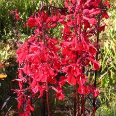 Pond Plant - Lobelia 'Queen Victoria' (Scarlet Lobelia) - Pack of 3 Plug Plants