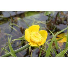 Pond Plant - Nuphar luteum (Brandy Bottle) 1L