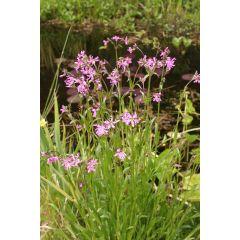 Pond Plant - Lychnis flos cuculi (Ragged Robin) - Pack of 3 Plug Plants