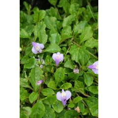 Pond Plant - Mazus reptans (Chinese Marsh Flower) - Pack of 3 Plug Plants