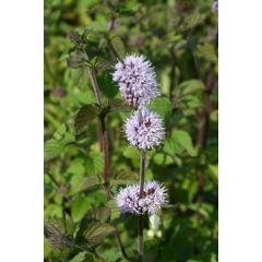 Pond Plant - Mentha aquatica (Water Mint) - Pack of 3 Plug Plants