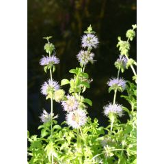 Pond Plant - Mentha pulegium (Penny Royal) - Pack of 3 Plug Plants