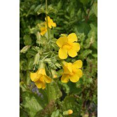Pond Plant - Mimulus guttatus (Monkey Flower) - Pack of 3 Plug Plants