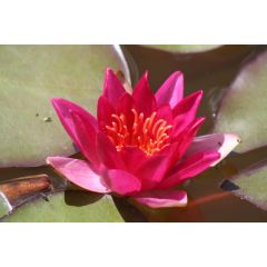 Pond Plant - Red Miniature Waterlily (1L)
