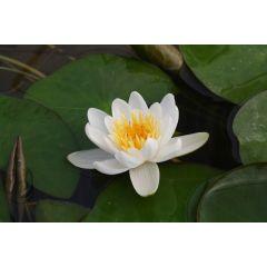 Pond Plant - White Miniature Waterlily (1L)