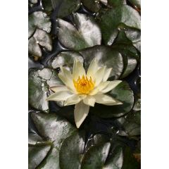 Pond Plant - Yellow Miniature Waterlily (1L)