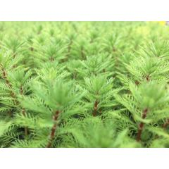 Pond Plant - Myriophyllum brasiliensis (Red Stemmed Parrots Feather) - Pack of 3 Plug Plants