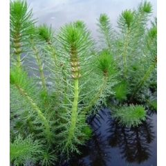 Pond Plant - Myriophyllum crispatum (Upright Water Milfoil) - Pack of 3 Plug Plants