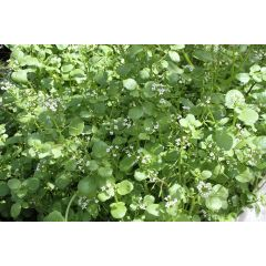 Pond Plant - Nasturtium aquaticum (Watercress) - Pack of 3 Plug Plants