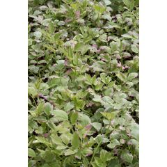 Pond Plant - Oenanthe 'Flamingo' (Variegated Water Dropwort) - Pack of 3 Plug Plants