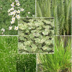 Pond Plant Pack - Oxygenators (Pack of 5 Plug Plants)